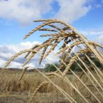 Wheat (Triticum spp.)